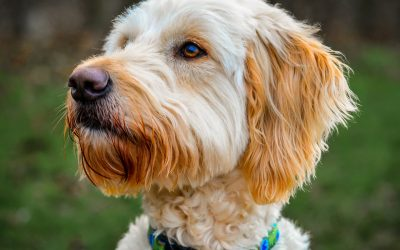 Which small dogs are hypoallergenic and don't shed?